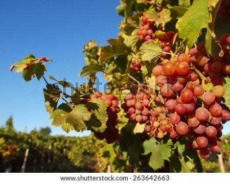 Wine grapes - stock photo