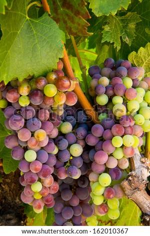 Wine Grapes on the Vine - stock photo