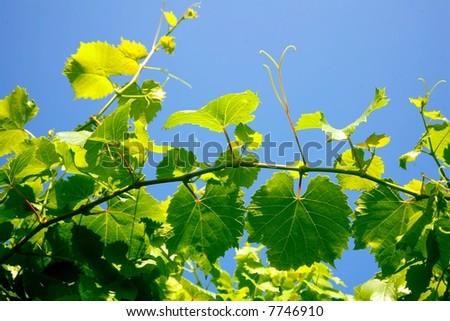 wine leaves - stock photo