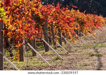 Wine Vineyards Fall Colors - stock photo