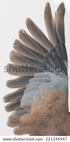 wing on a white dove - stock photo