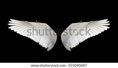 wing white swan fly isolate. - stock photo