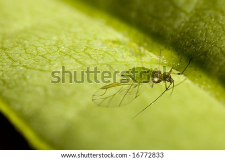 Winged female green apple aphid - stock photo