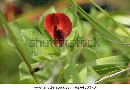 Winged or Asparagus Pea - Lotus tetragonolobus syn. Tetragonolobus purpureus - stock photo