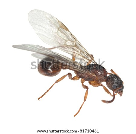 Winged red ant isolated on white background - stock photo