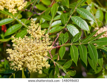 Winged Sumac bush (Rhus copallina) - stock photo