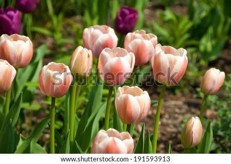 wink and white tulips - stock photo