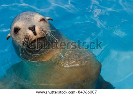 Winking California sea lion with copy space - stock photo
