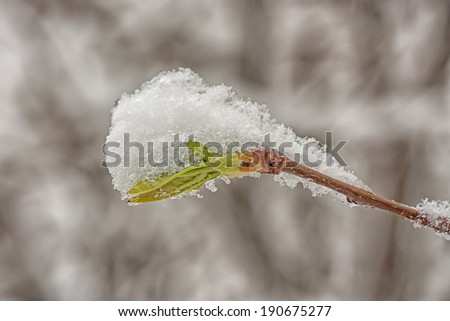 Winter and spring collide with a snow covered spring bud. - stock photo