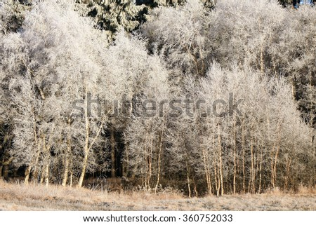 Winter background. Delicate birch tree twigs in hoarfrost and snow by early morning. - stock photo