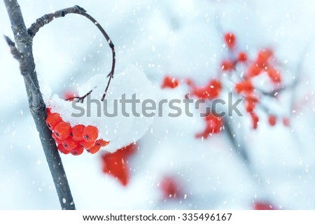 Winter background with a snow-covered mountain ash bunch - stock photo