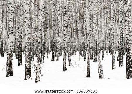 Winter birch forest background - stock photo