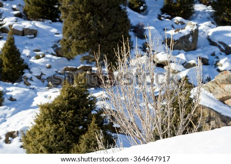 winter bush on the background of coniferous trees - stock photo