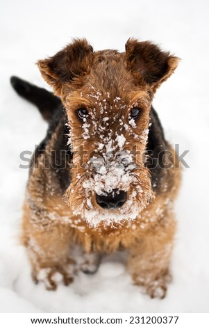 winter cute airedale terrier puppy dog sitting at snow - stock photo