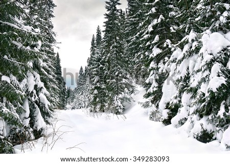 Winter fir forest in snow - stock photo