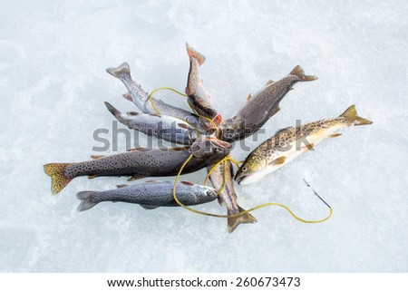 Winter fishing: trout caught on the different types of Stringer Fish Holder  in the snow - stock photo