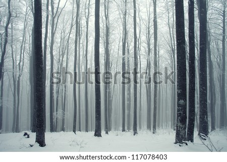 Winter foggy beech forest scene. - stock photo