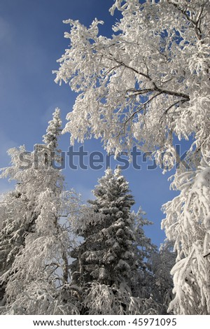 Winter forest with fir and birch branches with snow over sky in winter at Urals, Russia - stock photo