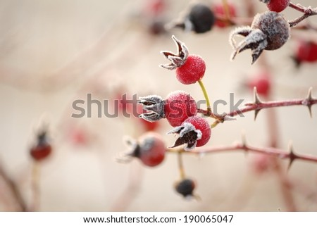 Winter Frost on Rose Hips. Hoarfrost on Rose Hips at dawn.  - stock photo