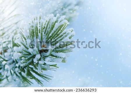Winter frost on spruce Christmas tree close-up. Winter background - stock photo