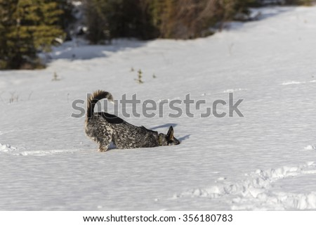 Winter Hiking and playing in the snow with a Blue Heeler Dog Alberta Canada - stock photo