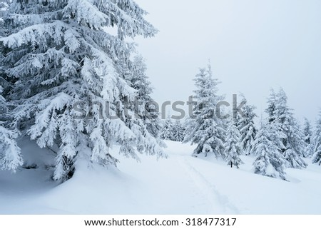 Winter landscape with footpath in the snow. Snowy spruce forest - stock photo