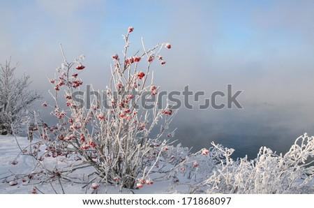 winter landscape with hoarfrost on mountain ash snowy riverbank frosty misty morning - stock photo