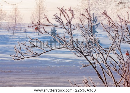 winter landscape with red rose-hips - stock photo
