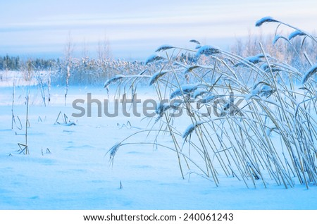 Winter landscape with snow-covered reed - stock photo