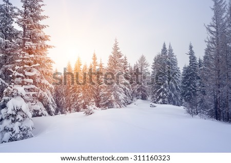 Winter landscape with snow-covered spruce forest. Christmas view. Color toning - stock photo