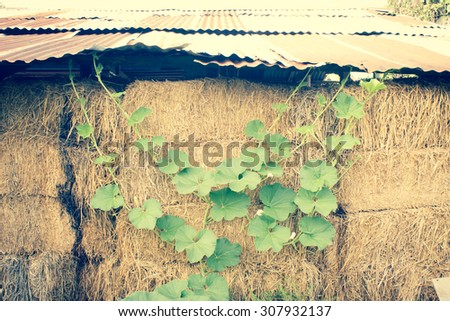 Winter Melon Leaf Growing Up to Hay Stack Background - stock photo