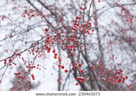 winter nature background of frozen snowy red berries on tree, focus on close branch - stock photo