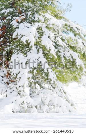 Winter pine tree - stock photo