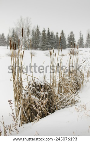 Winter reeds landscape after snowing - stock photo