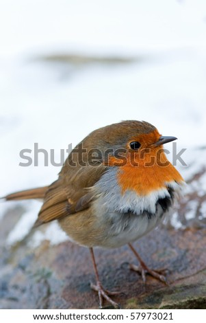 Winter Robin Puffed up Feathers in Snow - stock photo