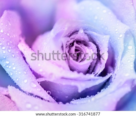 Winter rose, purple abstract floral background, gentle flower with dew drops on the petals, romantic greeting card - stock photo