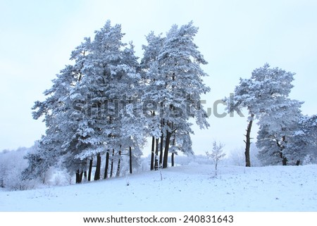 Winter rural landscape with snowy pine trees - stock photo