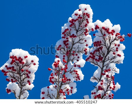 Winter Scene Detail of Snow on Tree Limbs Against a Blue Sky - stock photo