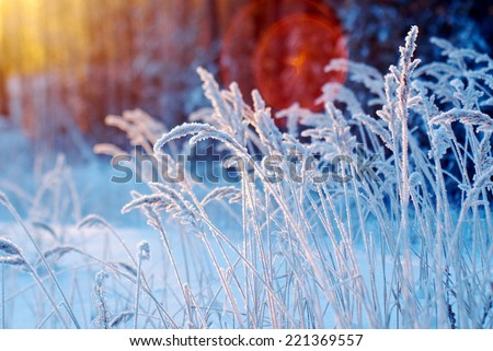 Winter scene .Frozenned flower .pine forest and sunset - stock photo