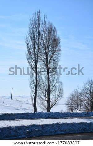 Winter scene with poplar trees - stock photo