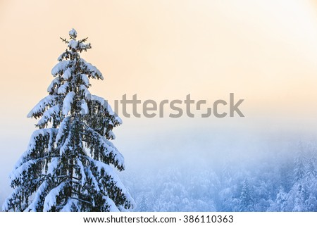 Winter scenery with snow covered spruce tree in the foreground and coniferous forest in the background. Clean, natural environment, sustainable agriculture, serenity concept. 