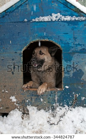 Winter. Sheep dog is in a house - stock photo
