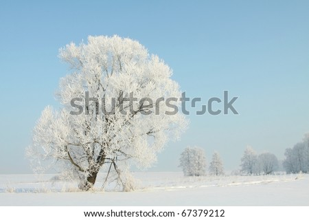Winter tree covered with frost against a blue sky on a sunny morning. - stock photo