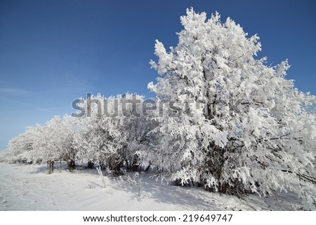 Winter trees covered with hoarfrost sunny day. Beautiful winter Christmas landscape. - stock photo