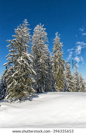 Winter wonderland, Spruce Tree Forest covered by snow in the warm light of the setting sun - stock photo
