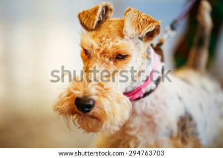 Wire Fox Terrier Close Up Indoor Portrait - stock photo