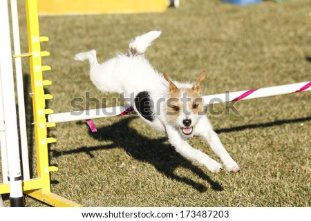 Wire hair terrier practicing going over a jump for agility - stock photo