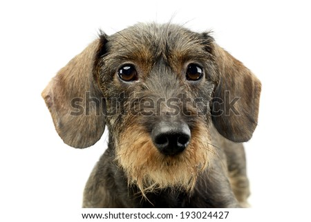 wire haired Dachshund looking into the camera - stock photo