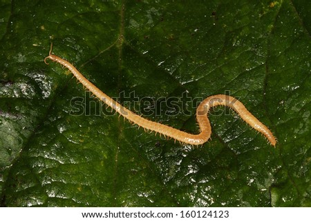 Wireworms, the larvae of click beetles (Elateridae), are soil-inhabiting pests, typically  found in grassland but also capable of attacking a wide range of crops. - stock photo