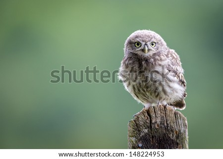 Wise Little Owl - stock photo